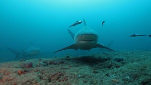 requin bouldogue